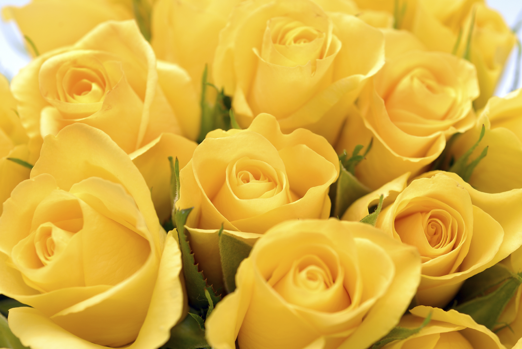 wallpaper of yellow roses - photo #23