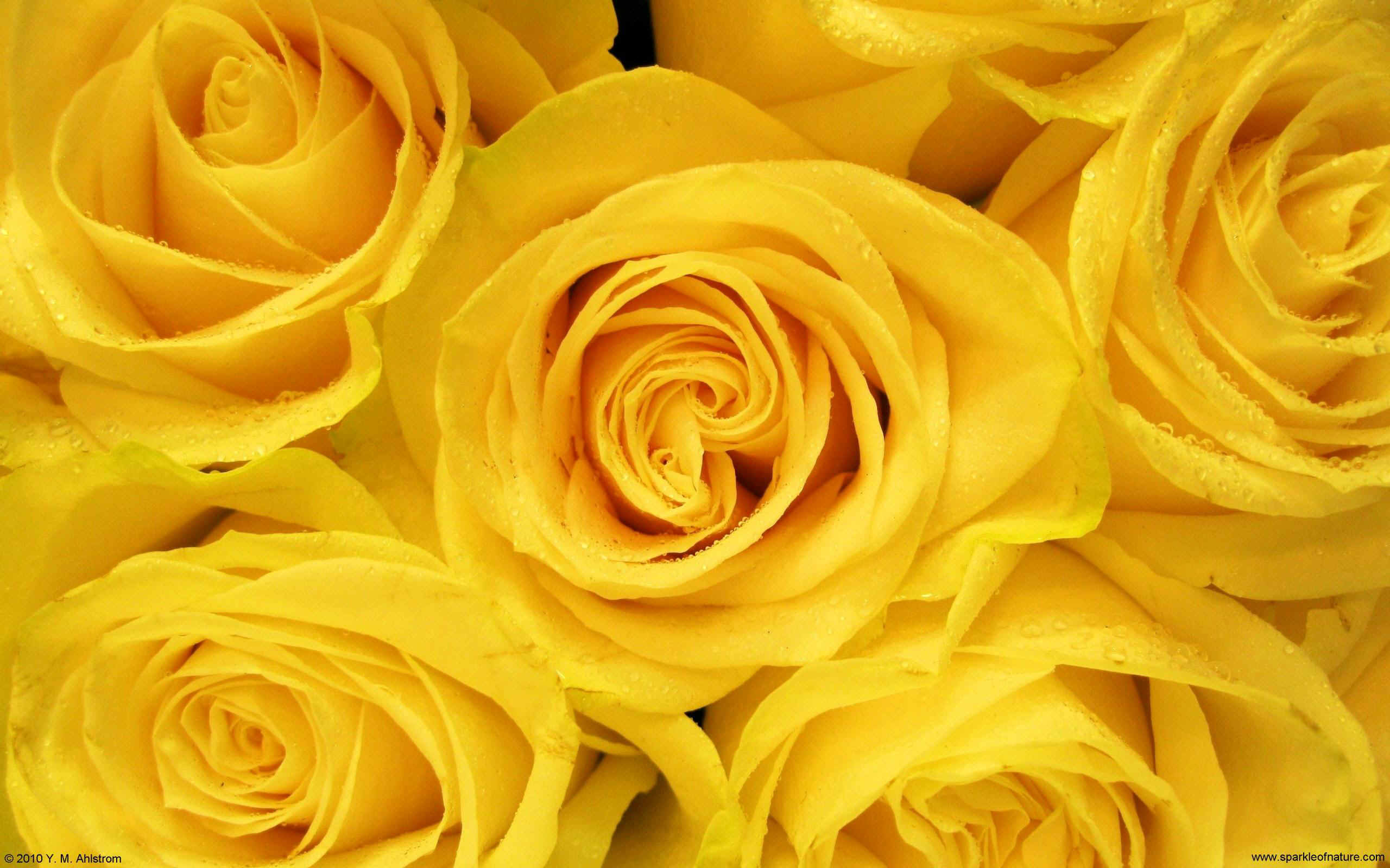 wallpaper of yellow roses - photo #28