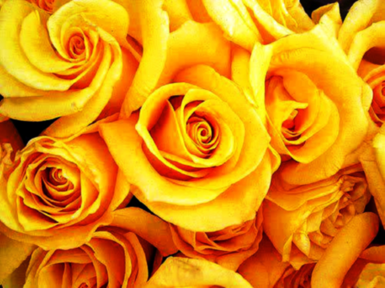 Yellow roses 9 high resolution wallpaper hdflowerwallpaper yellow roses free wallpaper mightylinksfo Image collections