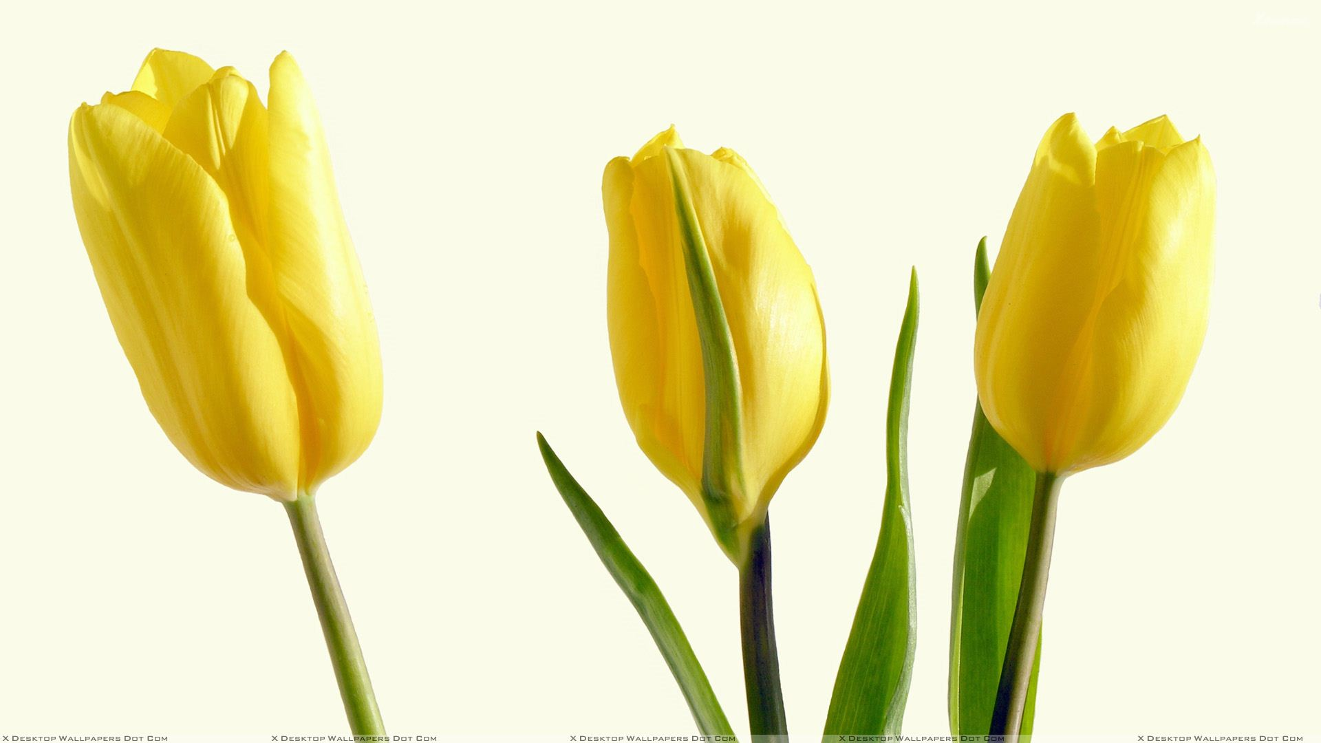 Yellow tulips 3 high resolution wallpaper hdflowerwallpaper yellow tulips hd wallpaper mightylinksfo Gallery