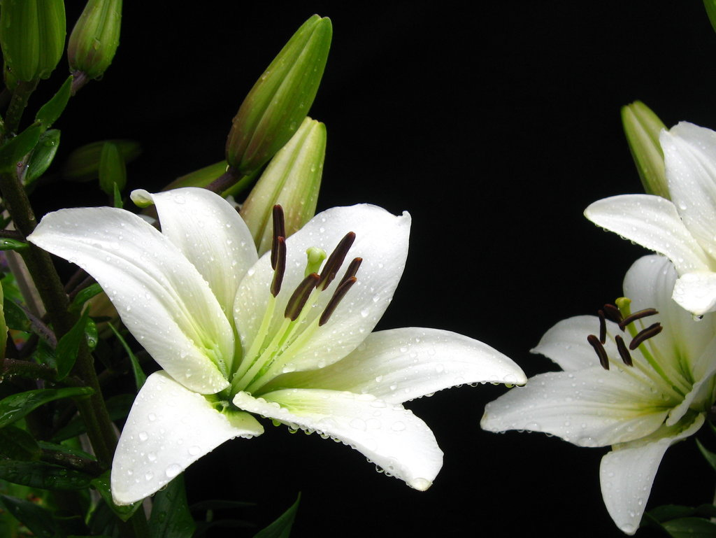 Lily flower hd images flowers healthy black lily flowers 20 free hd wallpaper hdflowerwallpaper izmirmasajfo