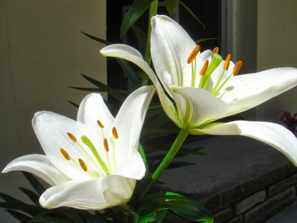 Black lily flowers 27 free hd wallpaper hdflowerwallpaper black lily flowers 27 free hd wallpaper izmirmasajfo