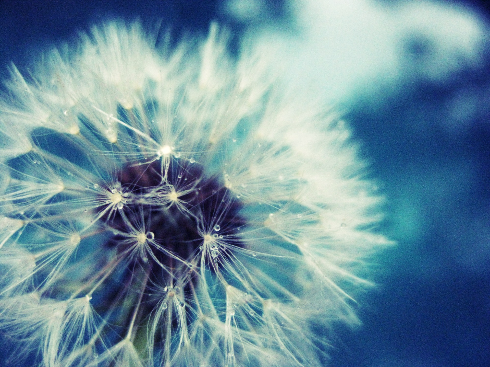 Download Convert View Source Tagged On Flower Wallpaper Dandelion