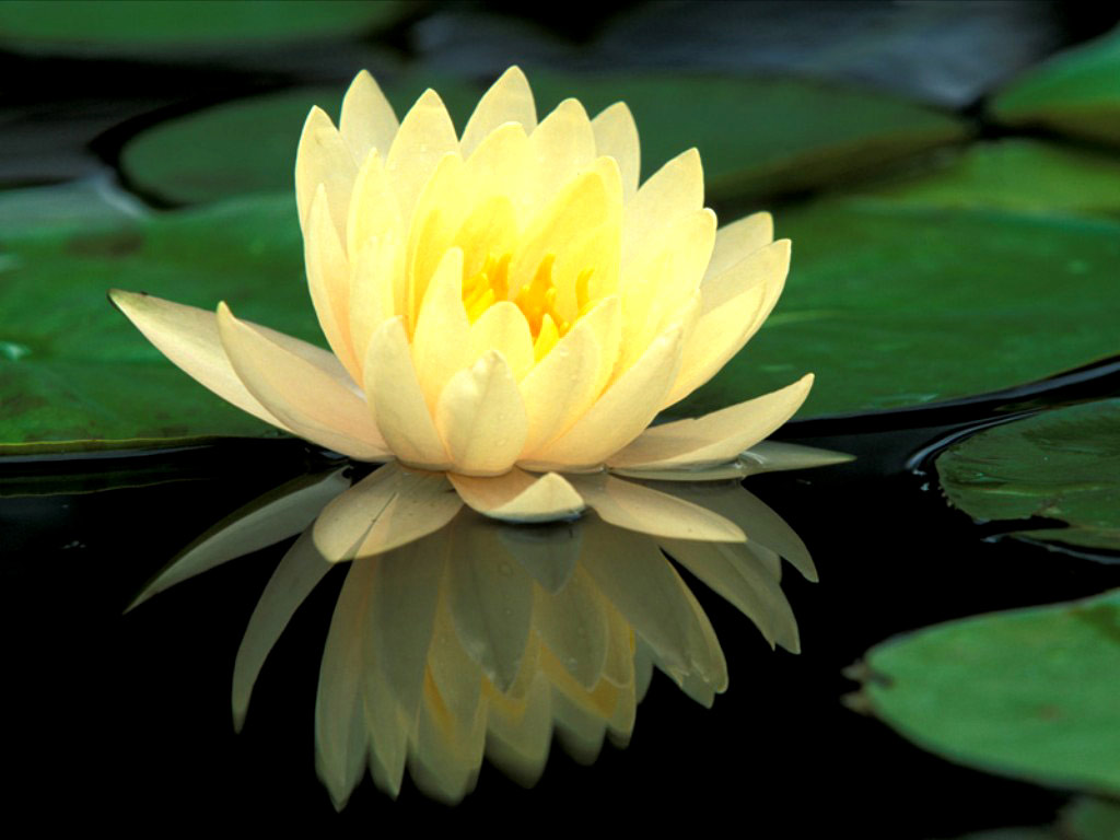 Green lotus flowers 20 free hd wallpaper hdflowerwallpaper green lotus flowers hd wallpaper mightylinksfo