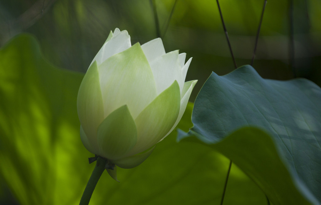 Green Flower Line Drawing : Green lotus flower flowers ideas for review