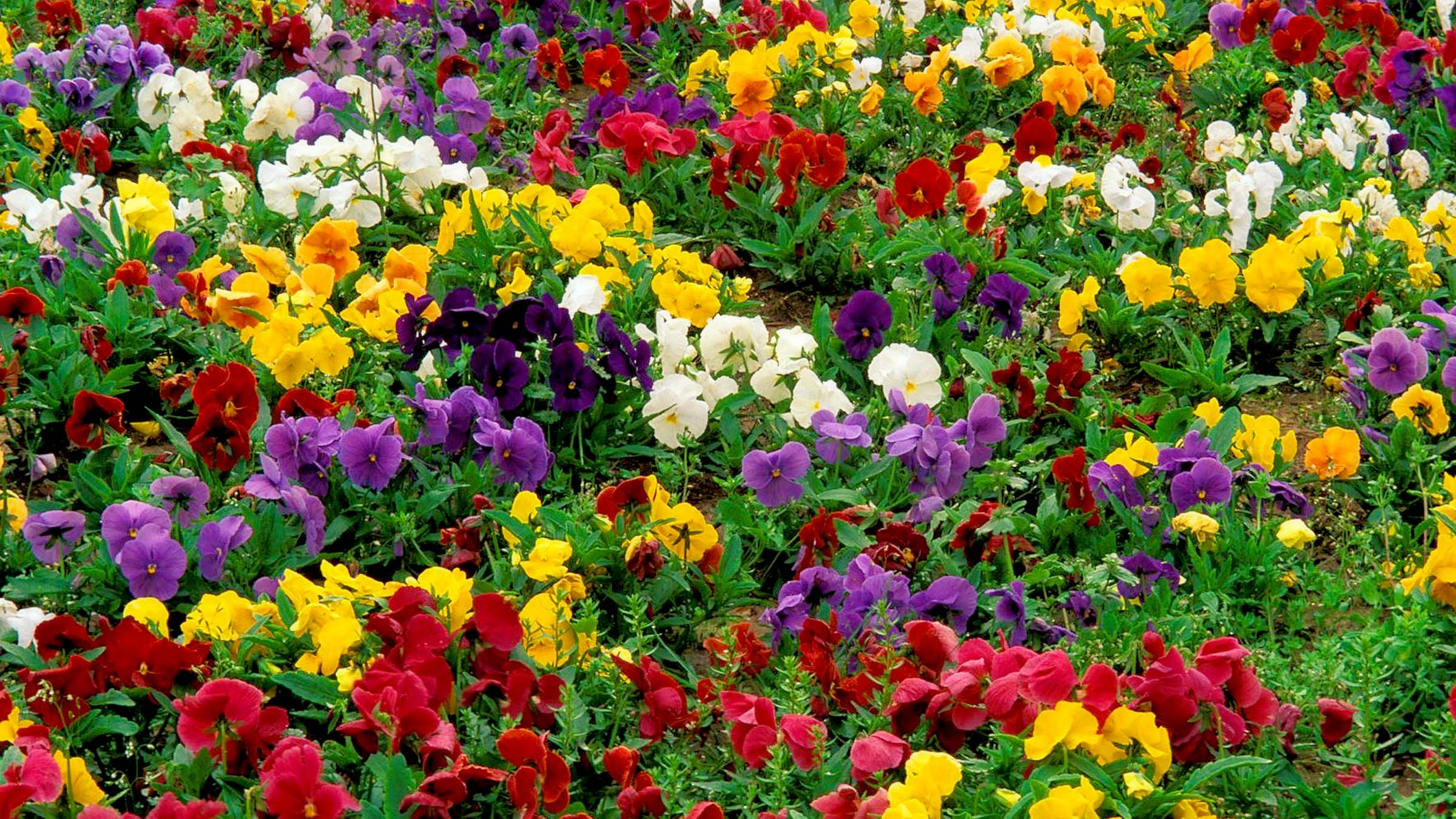 pansy flowers 23 widescreen wallpaper