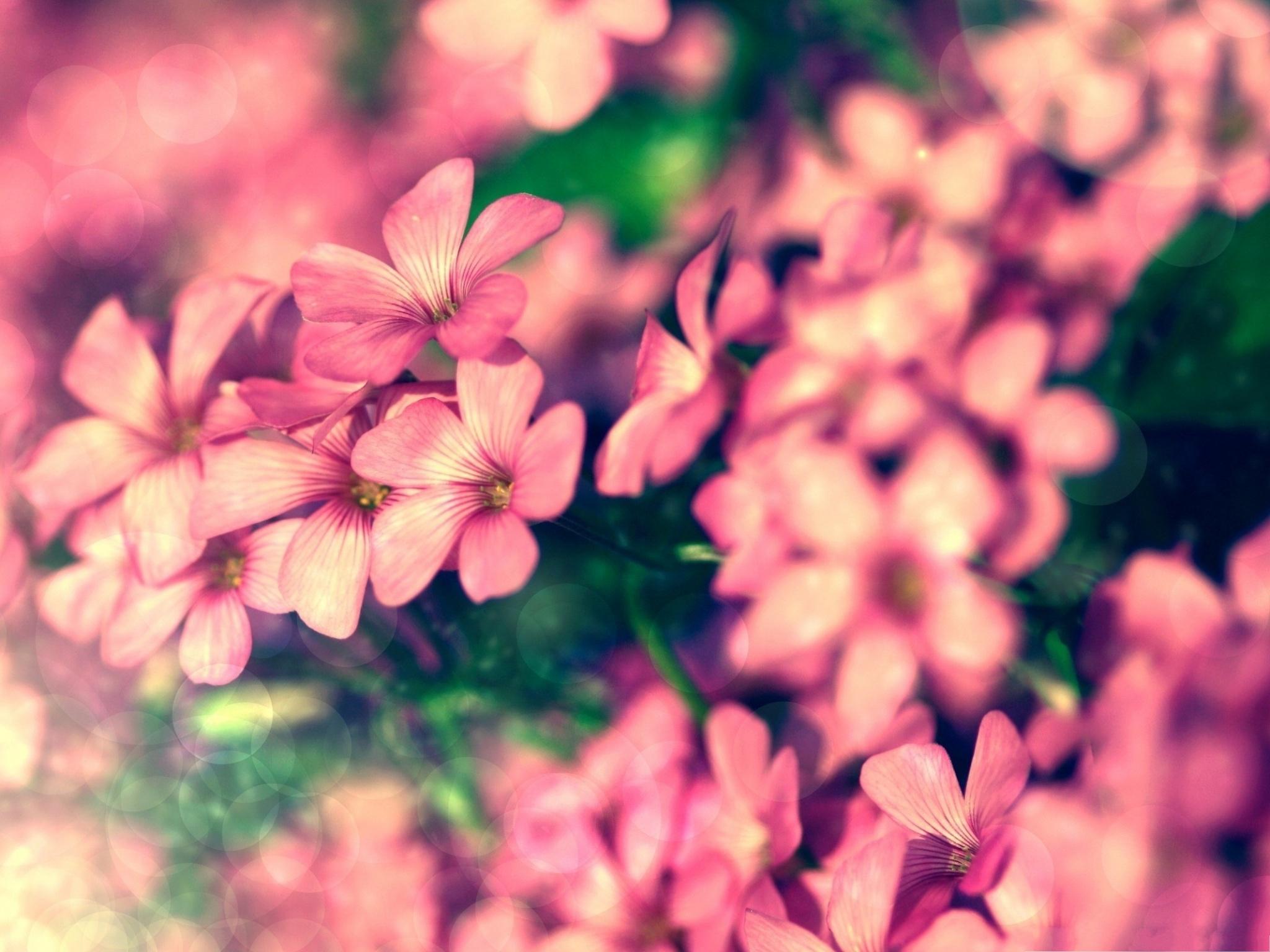 Pink Flowers Large Leaves Free Wallpaper