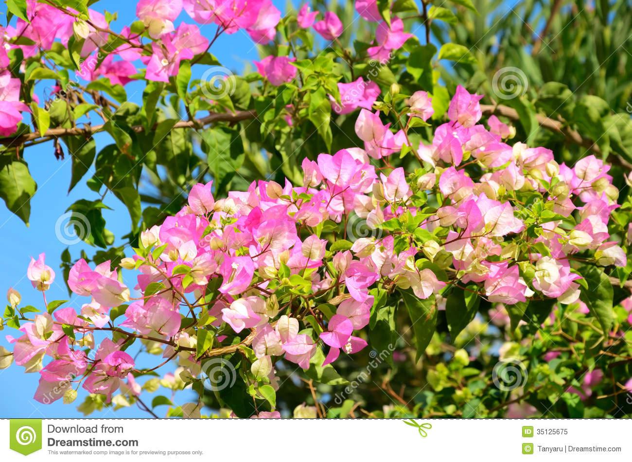 Pink Flowers Large Leaves 26 Wide Wallpaper Hdflowerwallpaper