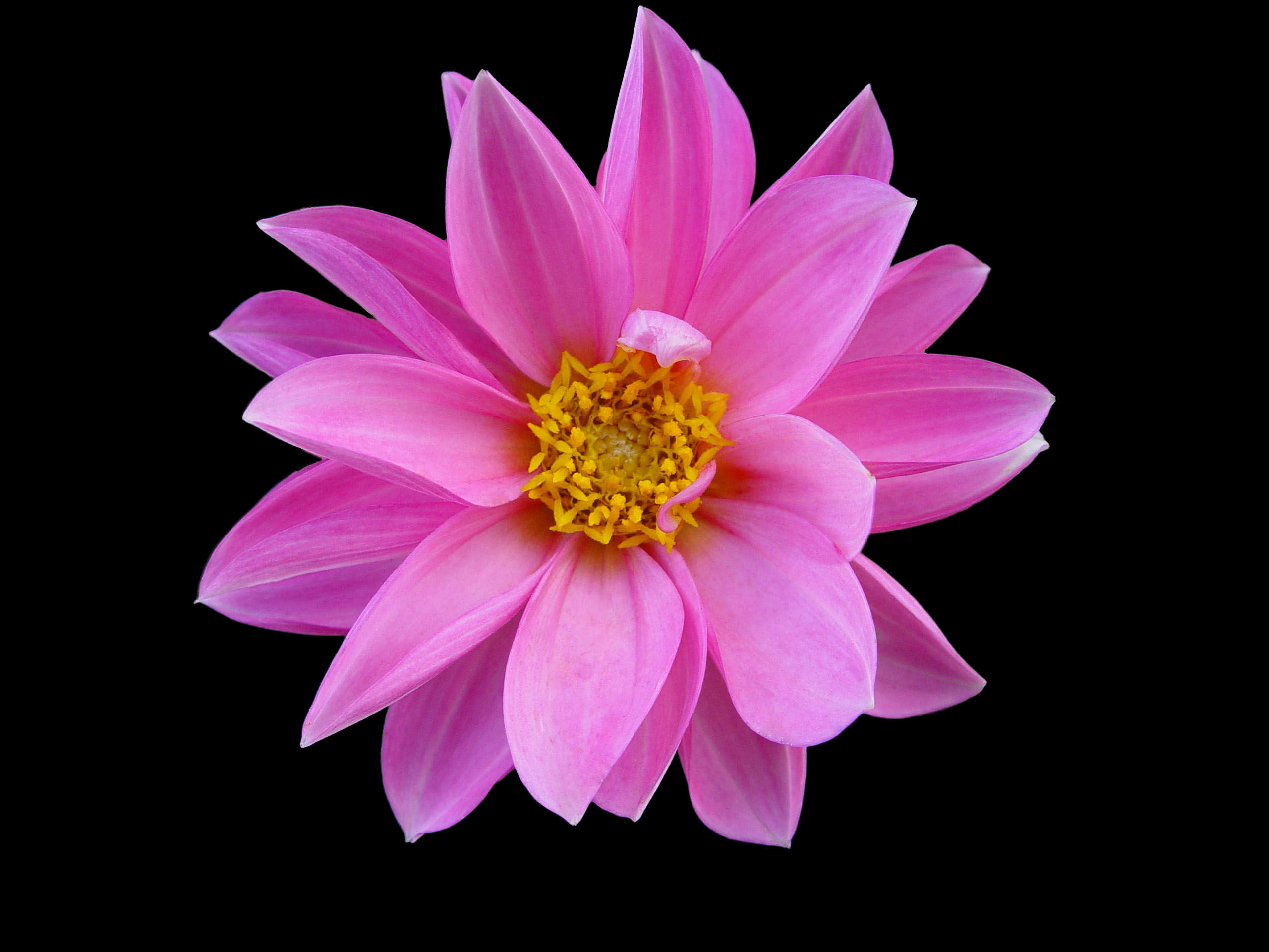 Pink flowers picture 9 cool wallpaper hdflowerwallpaper pink flowers picture free wallpaper mightylinksfo
