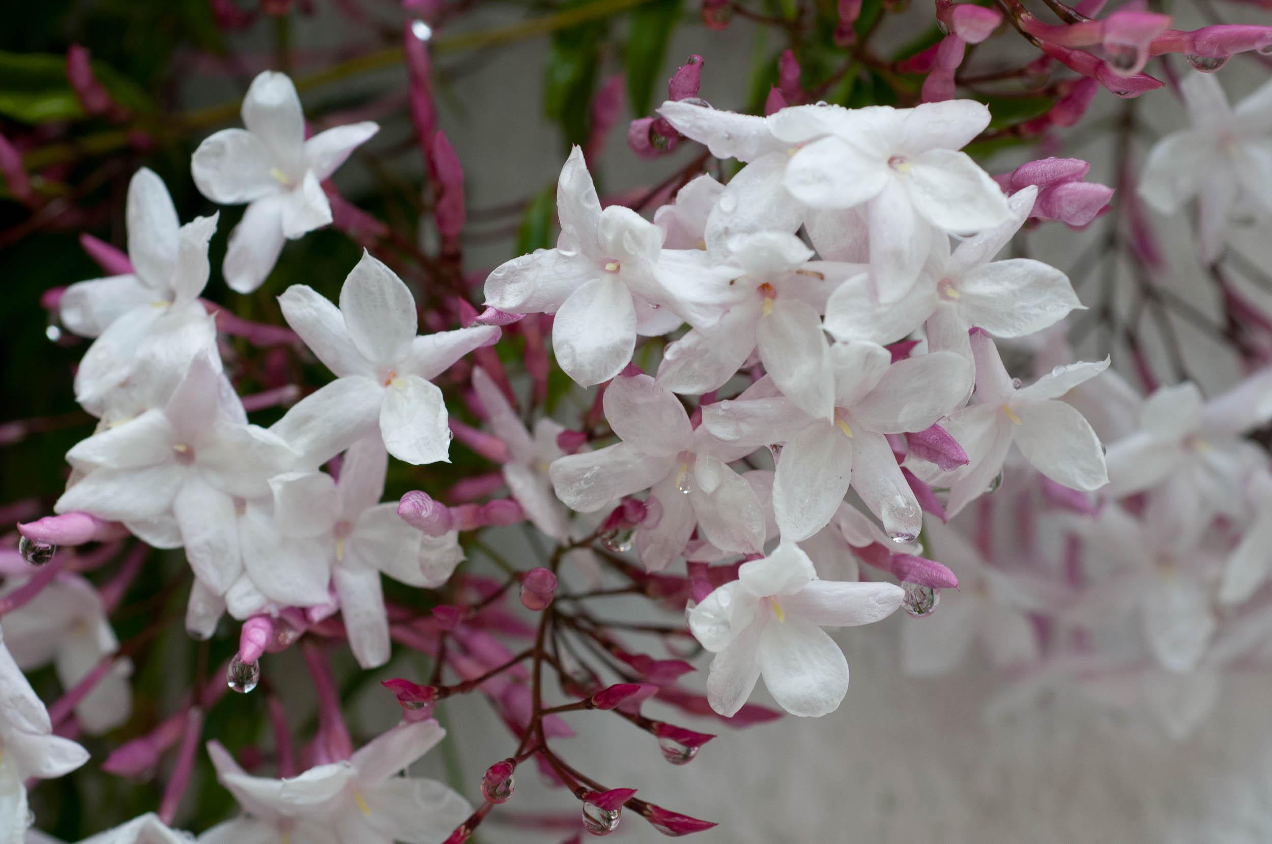 Pink Jasmine Flowers 1 Free Hd Wallpaper Hdflowerwallpaper