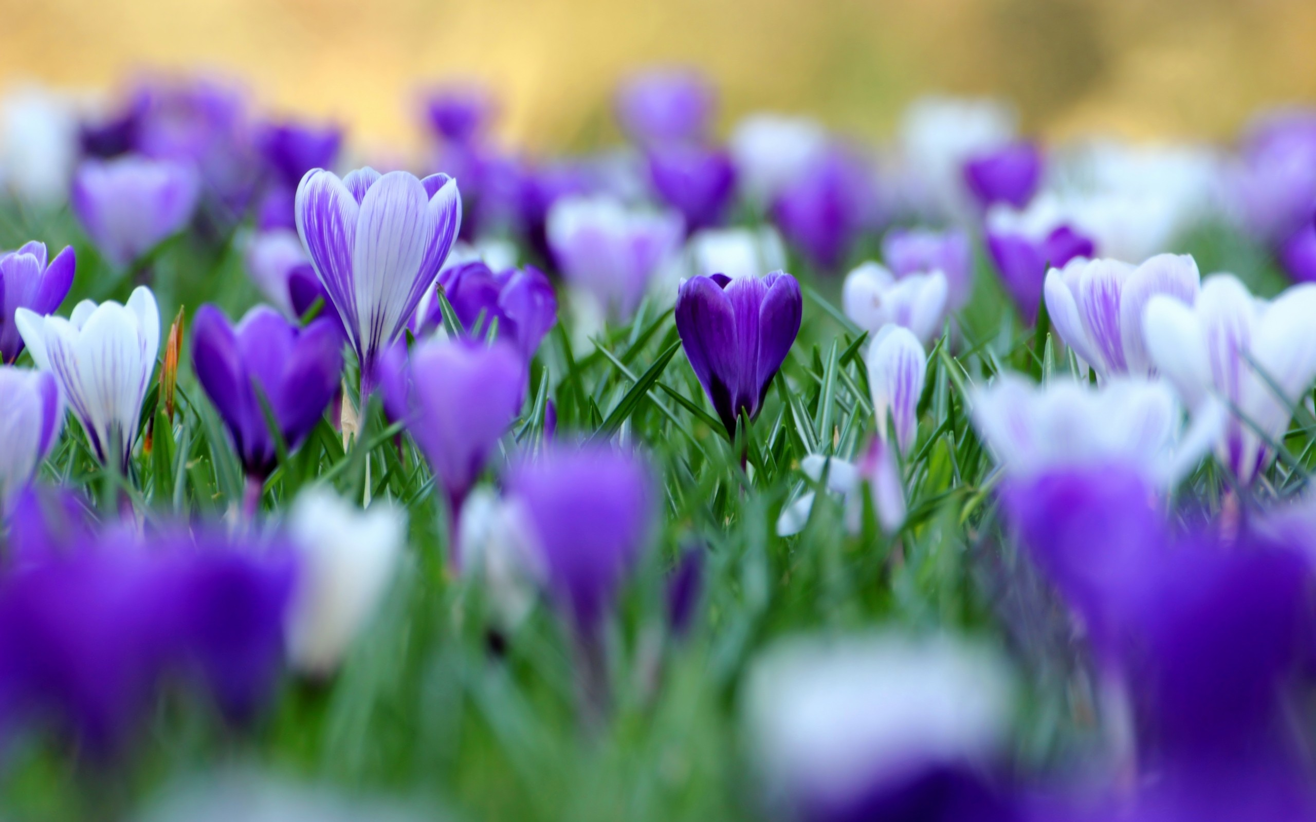 Purple Flowers Hd Wallpapers Wide Wallpaper