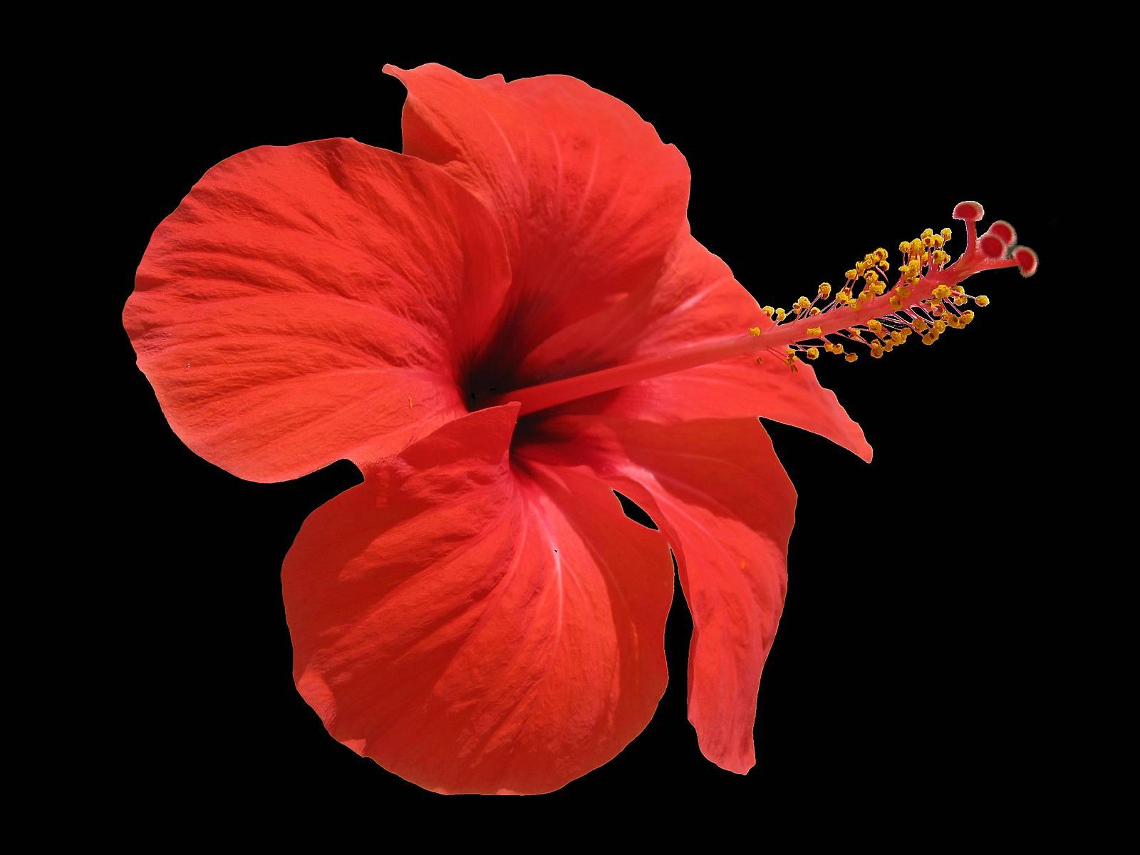 Фото цветок с красными цветками как тычинки