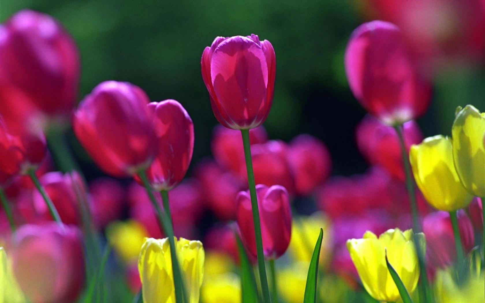 Red Flowers In Spring  18 Desktop Wallpaper