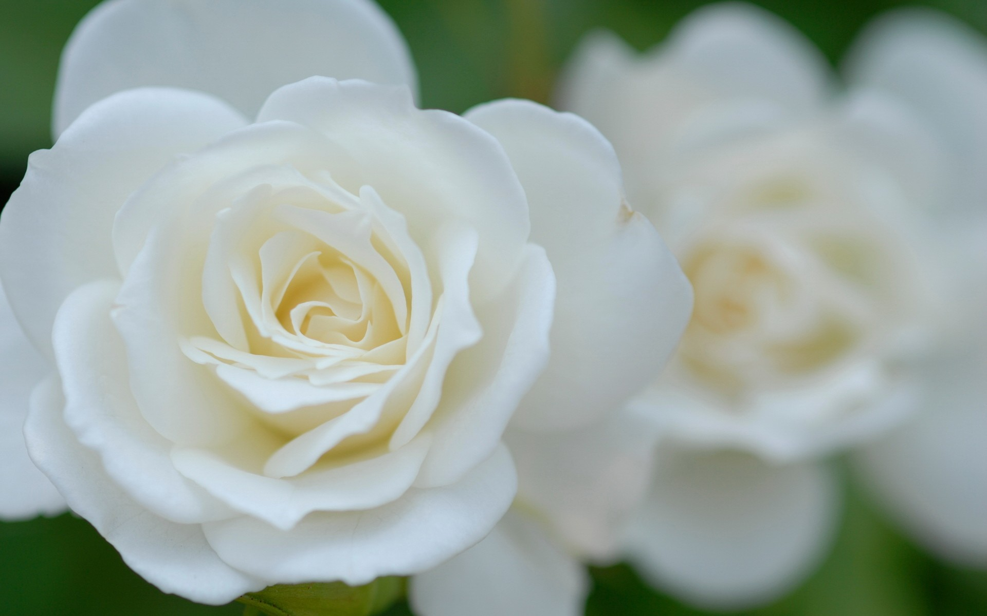 White flowers hd 3 background wallpaper hdflowerwallpaper white flowers hd background mightylinksfo Image collections