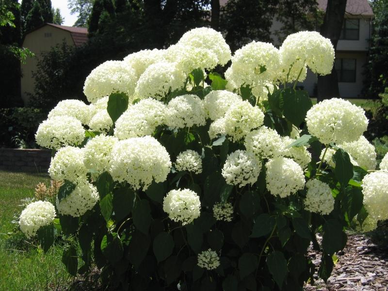 White flowers hydrangea 21 cool hd wallpaper hdflowerwallpaper white flowers hydrangea background mightylinksfo