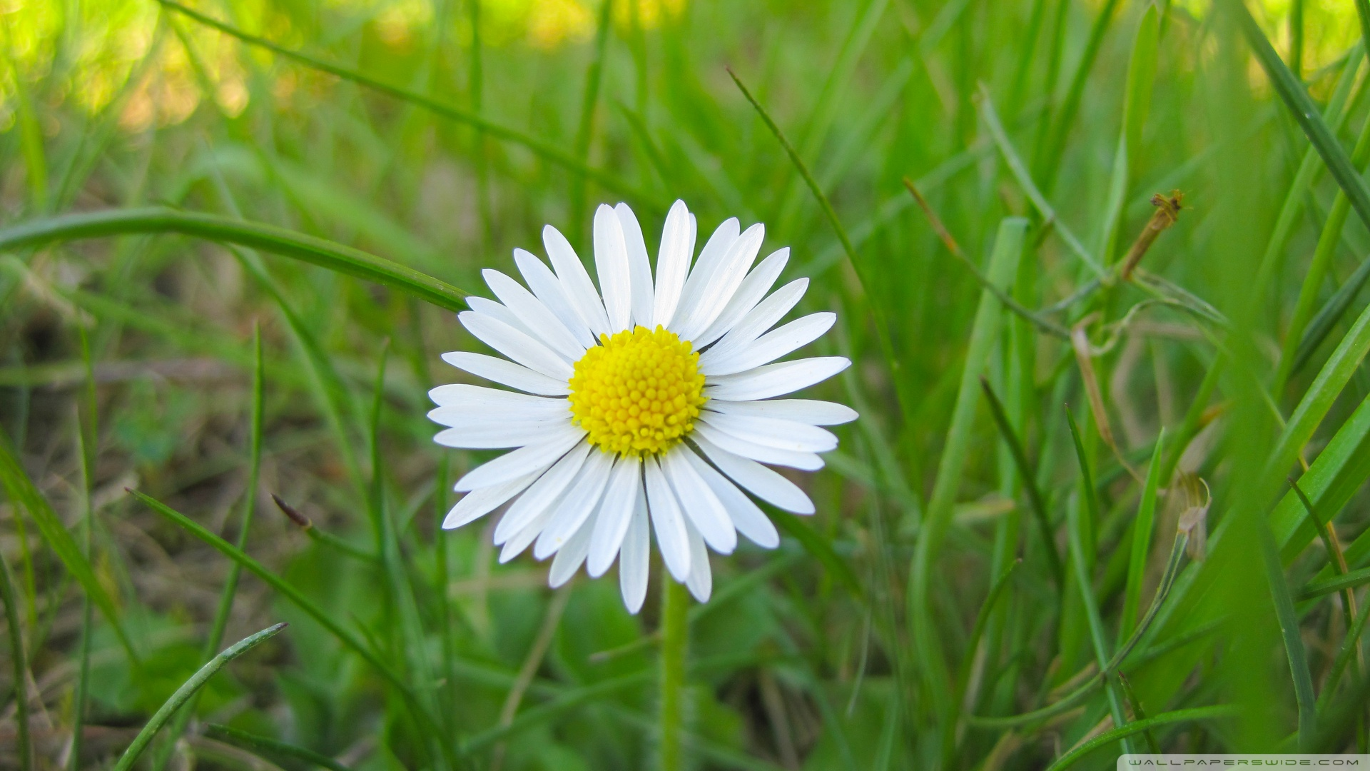 White Flowers In Grass 16 Background Hdflowerwallpaper