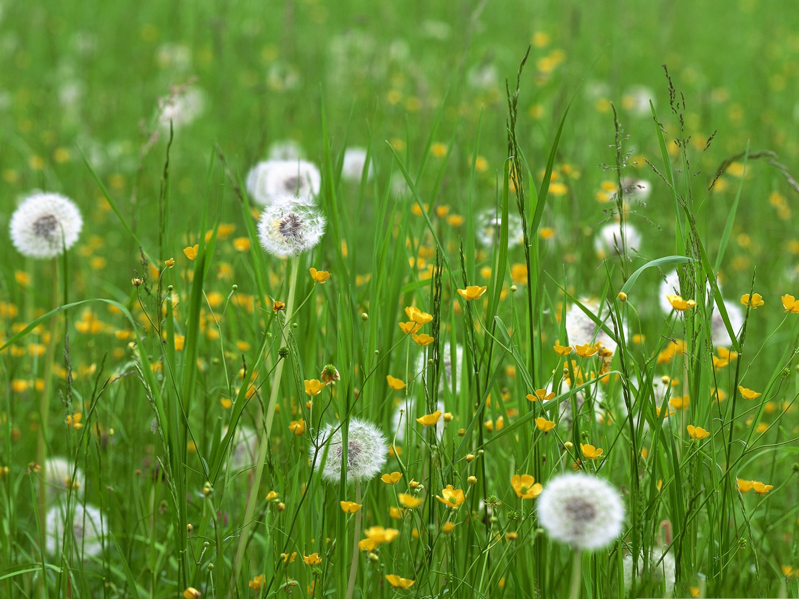 White flowers in grass 20 free wallpaper hdflowerwallpaper white flowers in grass free wallpaper mightylinksfo Choice Image