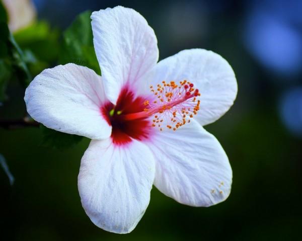 White Hibiscus 17 Background Wallpaper Hdflowerwallpaper Com