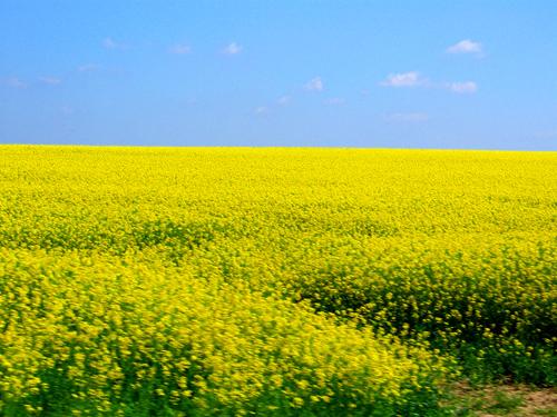 Yellow flowers field 28 cool hd wallpaper hdflowerwallpaper yellow flowers field free wallpaper mightylinksfo