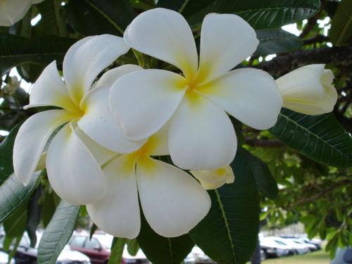 Yellow flowers hawaii 18 free hd wallpaper hdflowerwallpaper yellow flowers hawaii hd wallpaper mightylinksfo