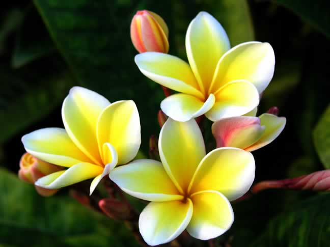 Plumeria yellow flower ide dimage de fleur backgrounds for plumeria flowers with yellow background www mightylinksfo