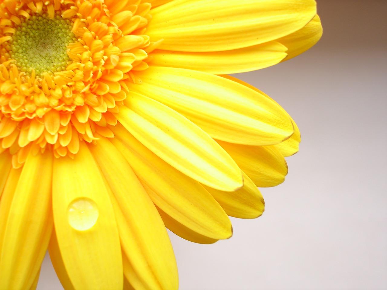 Hd wallpaper yellow flowers - Yellow Flowers Hd Free Wallpaper