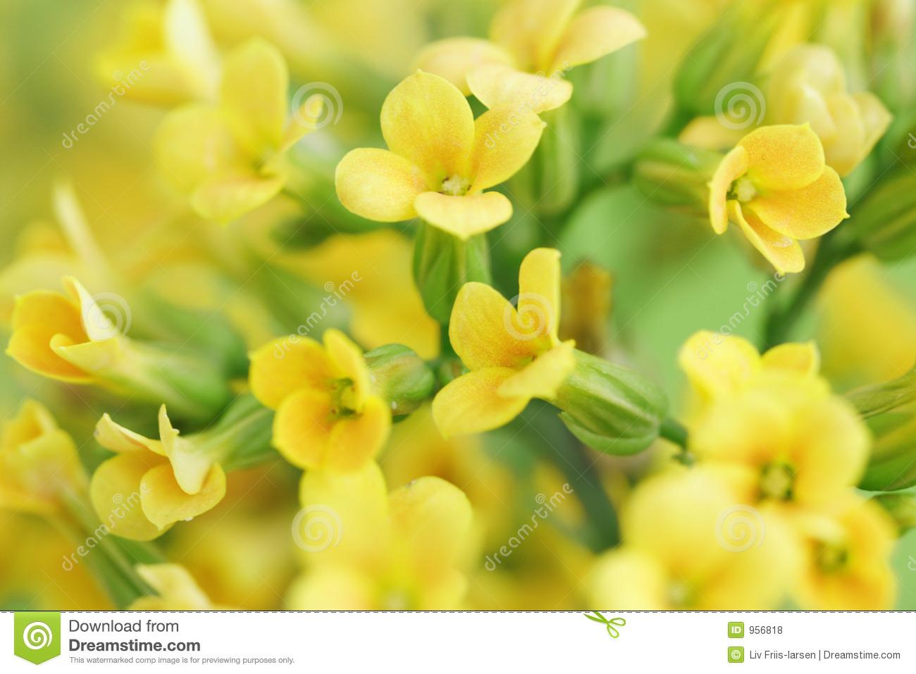 Dream yellow flowers gallery fresh lotus flowers yellow flowers in a dream 14 background wallpaper mightylinksfo