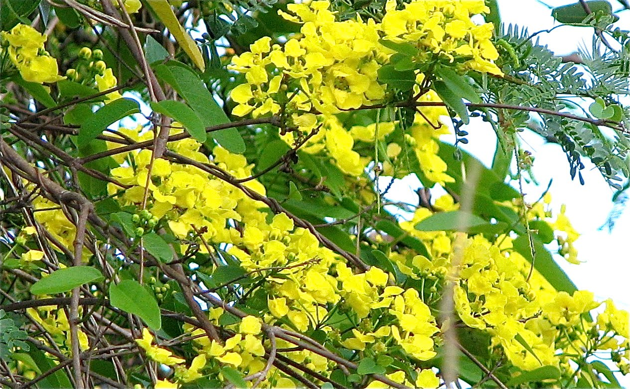 Yellow flowers tree 11 background hdflowerwallpaper yellow flowers tree 11 background mightylinksfo Image collections