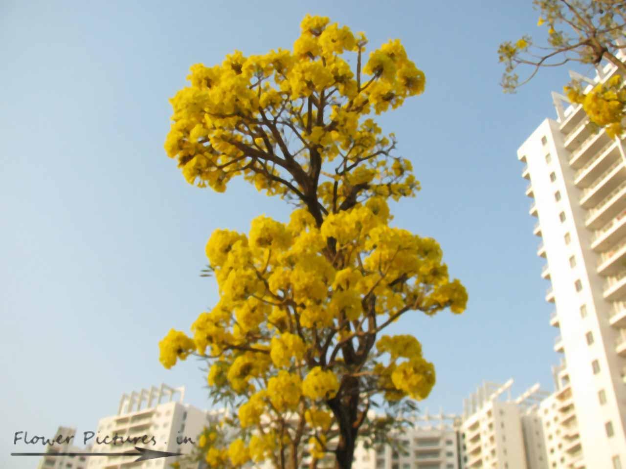 Yellow Flowers Tree 14 Background Wallpaper Hdflowerwallpaper