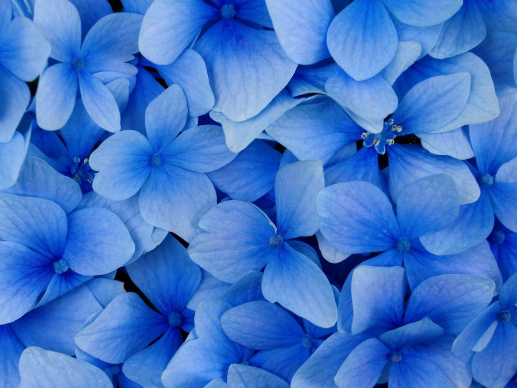 Beautiful Flowers Wallpaper Blue On Blue 15 Desktop Background