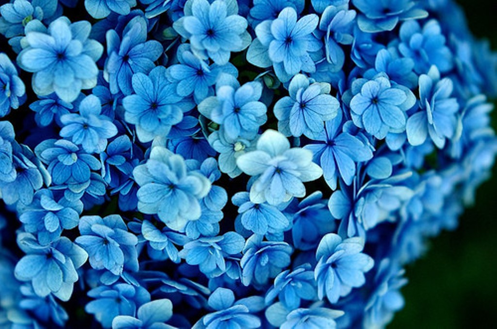 Beautiful Flowers Wallpaper Blue On Desktop Background