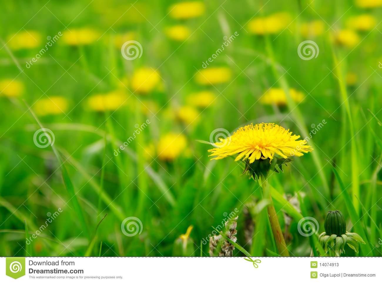 Газонные цветы желтого цвета фото