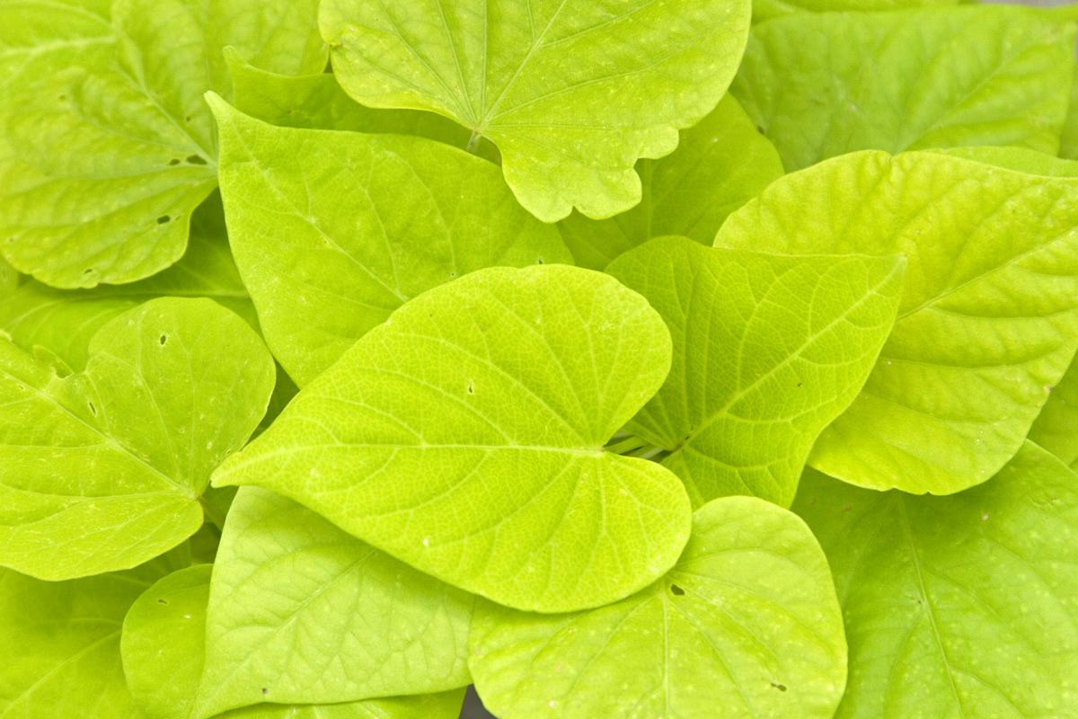 Green Leaf Flowers HD Wallpaper