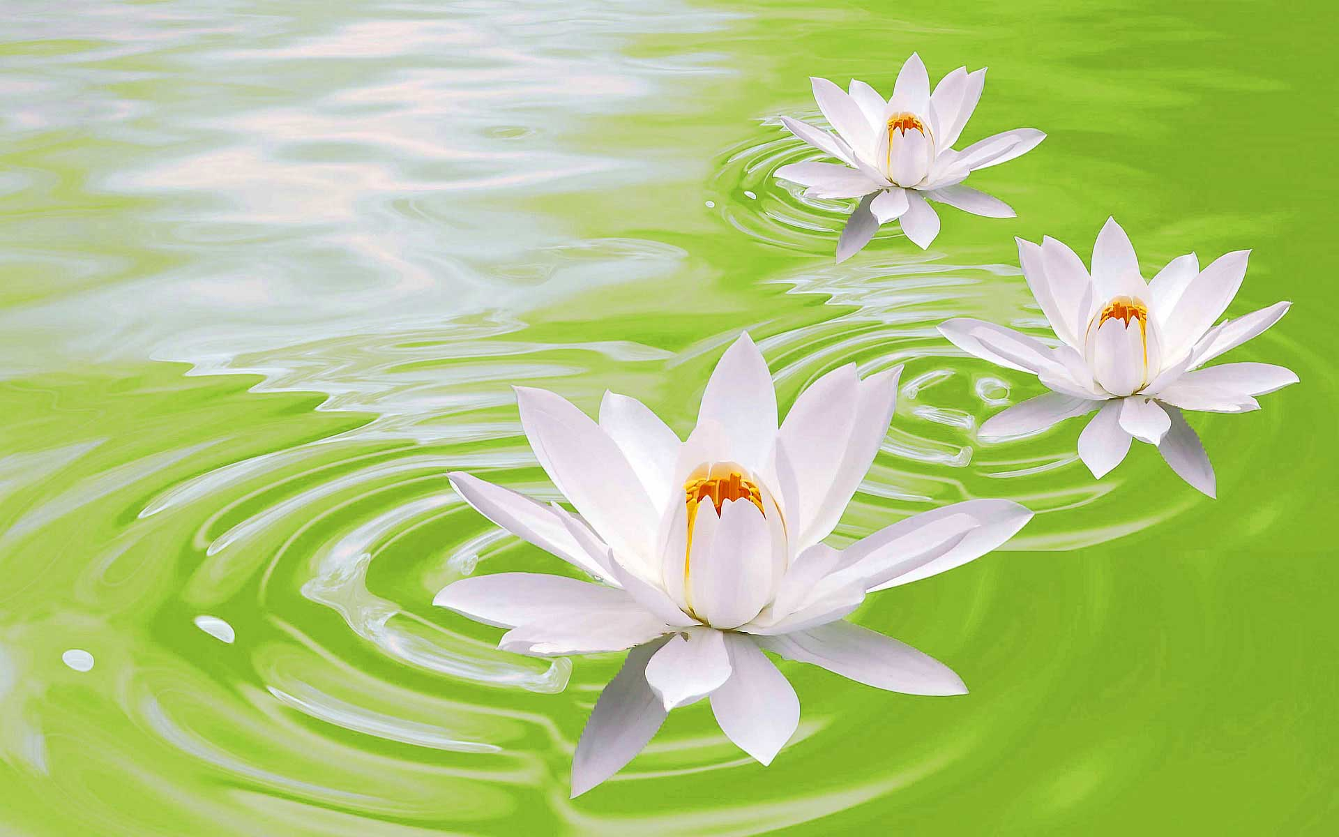 Green lotus flowers 37 widescreen wallpaper hdflowerwallpaper green lotus flowers free wallpaper mightylinksfo