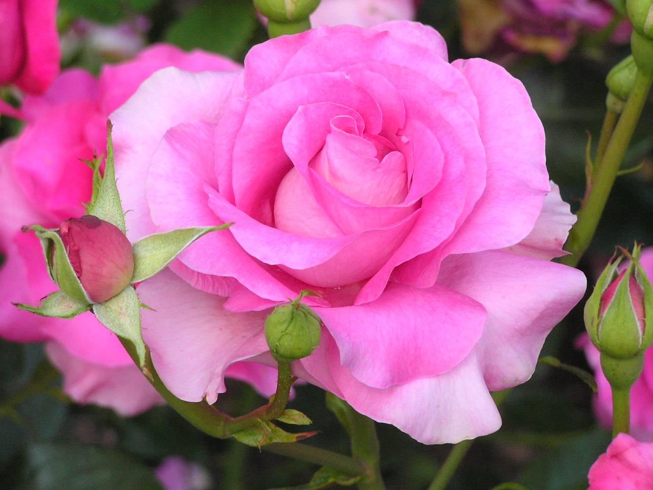 Pink Flowers Rose 1 Cool Wallpaper Hdflowerwallpaper