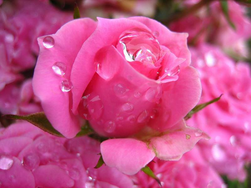 Pink rose flowers images 11 wide wallpaper hdflowerwallpaper pink rose flowers images free wallpaper mightylinksfo