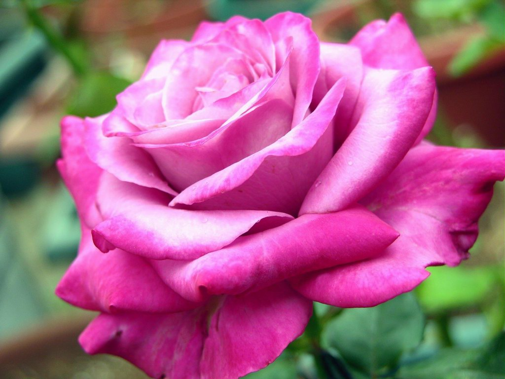 Pink rose flowers images 13 widescreen wallpaper - Red rose flower hd images ...