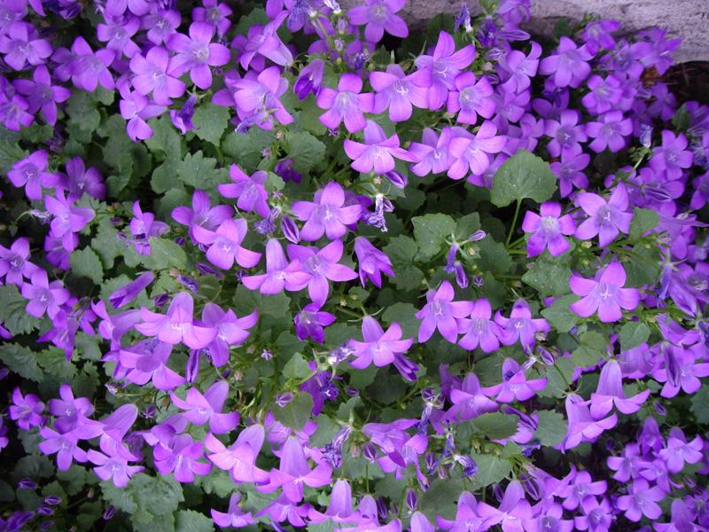 Purple flowers perennials 13 desktop wallpaper for Purple flower ground cover perennial