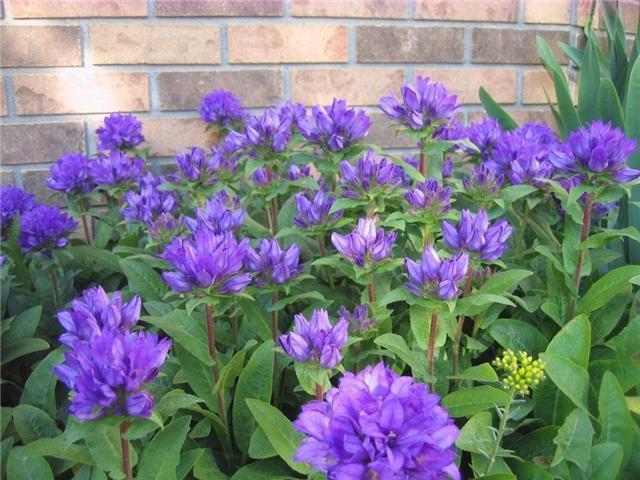 Purple flowers perennials 23 desktop wallpaper hdflowerwallpaper purple flowers perennials widescreen wallpaper mightylinksfo