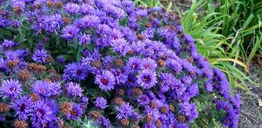 Purple flowers perennials 29 widescreen wallpaper purple flowers perennials wide wallpaper mightylinksfo