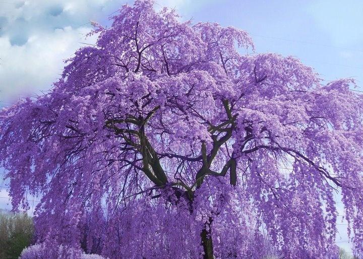 Purple flowers plants 19 free wallpaper hdflowerwallpaper purple flowers plants wide wallpaper mightylinksfo