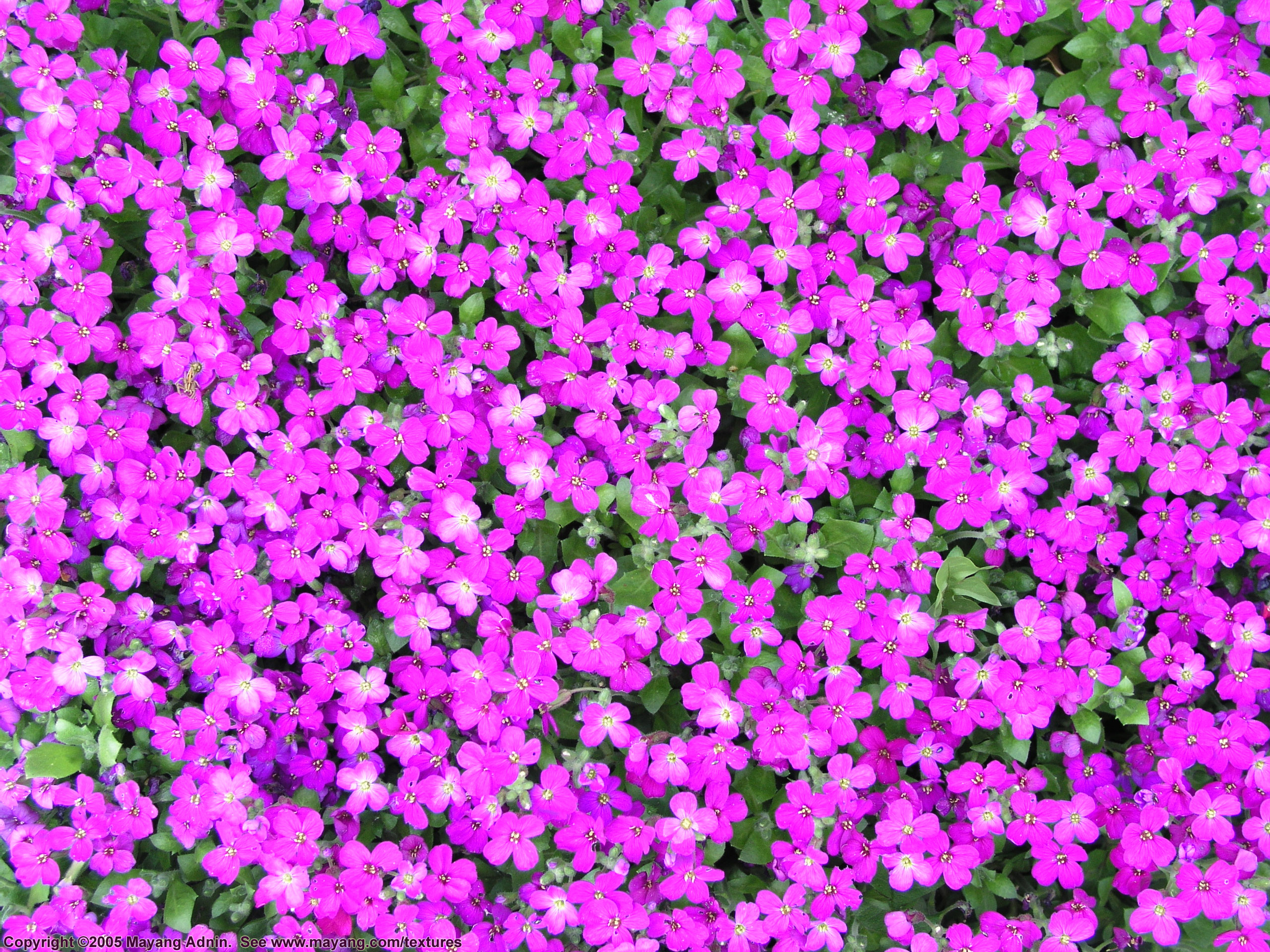 Purple Plant With Little Pink Flowers Garden Inspiration