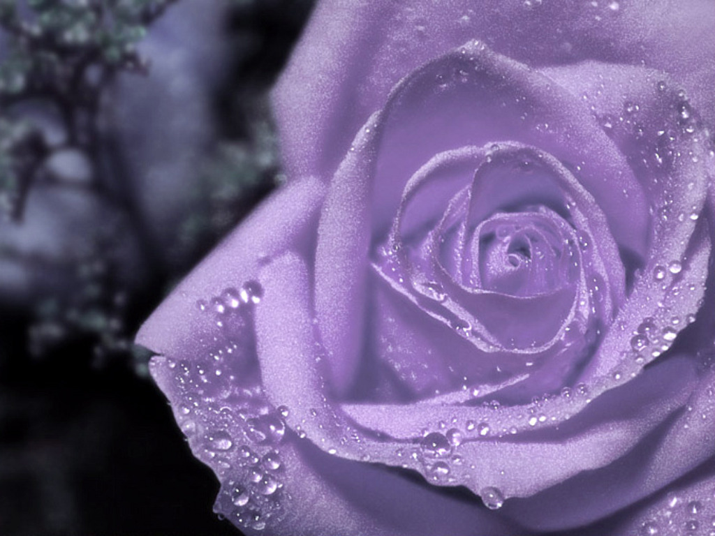 purple flowers roses 22 free hd wallpaper - hdflowerwallpaper
