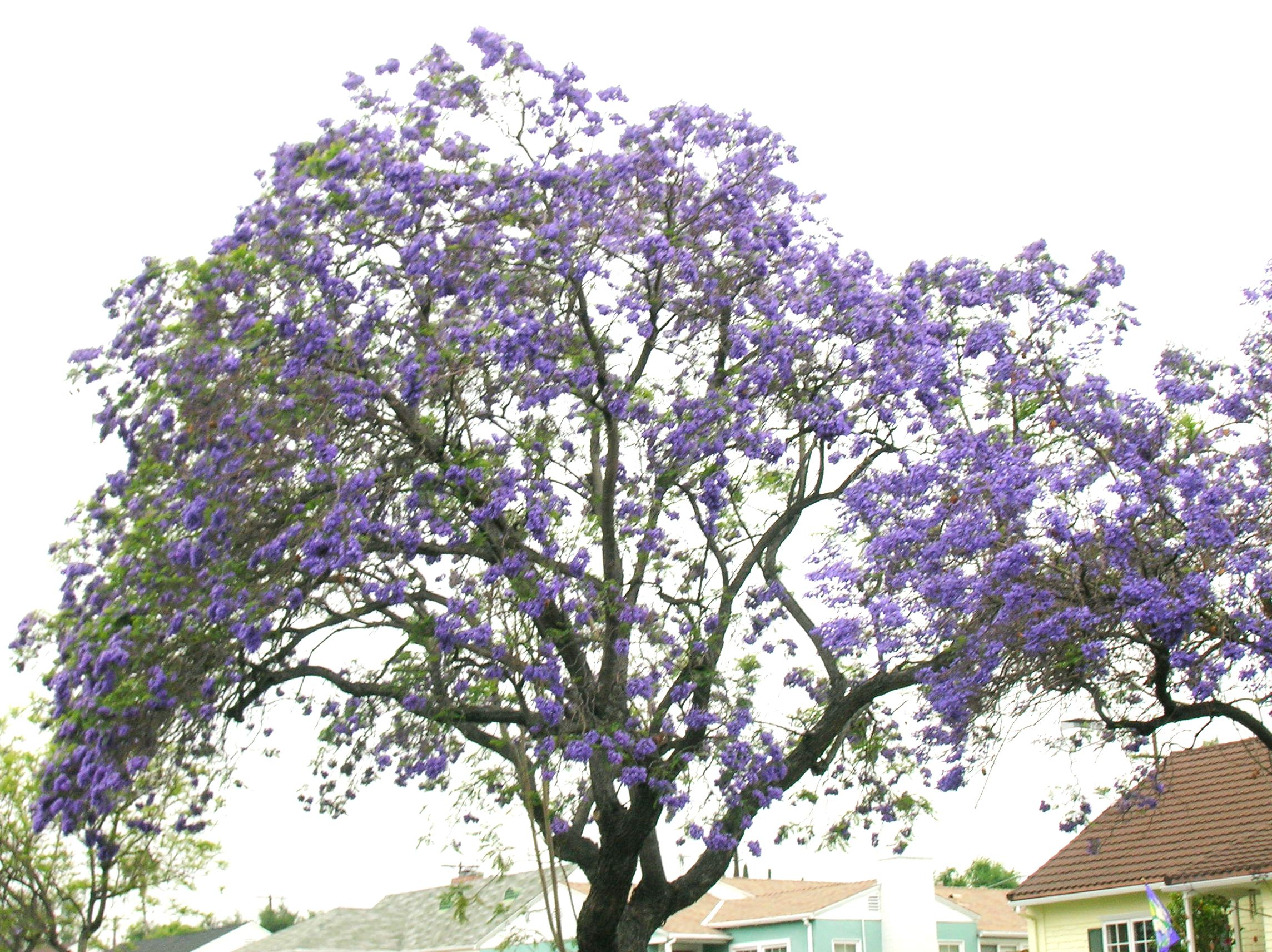 Purple flowers tree 24 hd wallpaper hdflowerwallpaper purple flowers tree wide wallpaper mightylinksfo