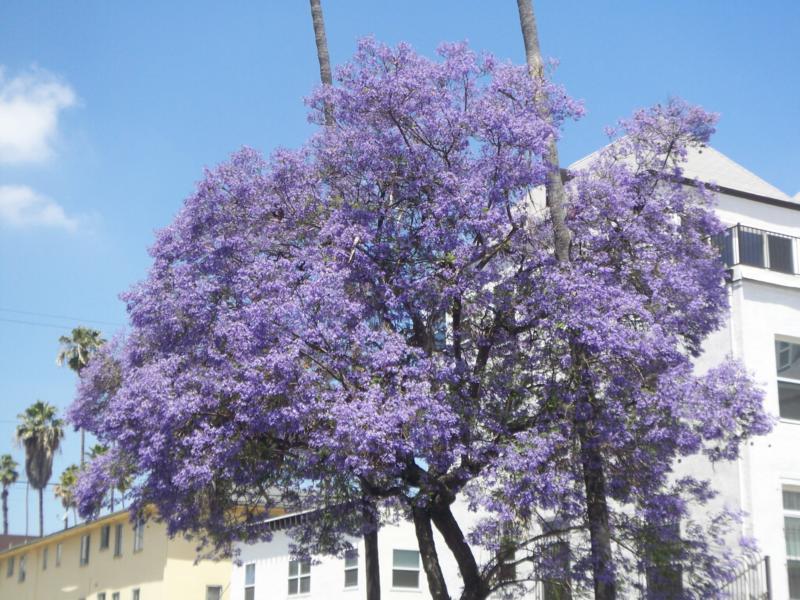 Purple flowers tree 25 desktop wallpaper hdflowerwallpaper purple flowers tree widescreen wallpaper mightylinksfo