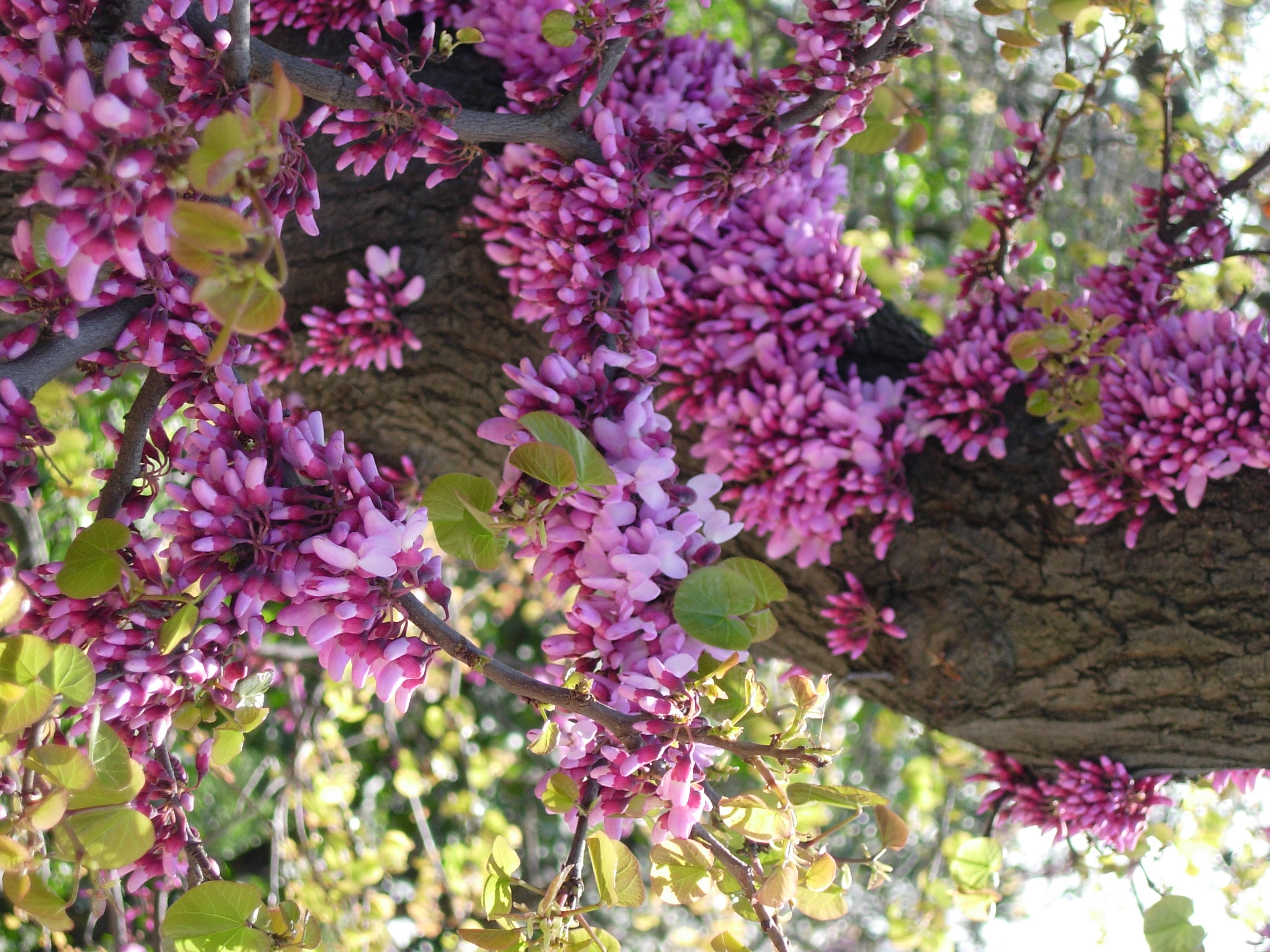 Purple Flowers Tree 28 Widescreen Wallpaper HdFlowerWallpaper