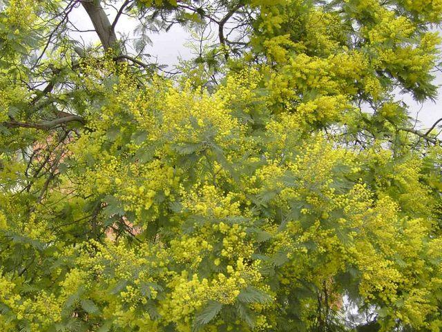 Tree yellow flowers uk 11 cool hd wallpaper hdflowerwallpaper tree yellow flowers uk free wallpaper mightylinksfo