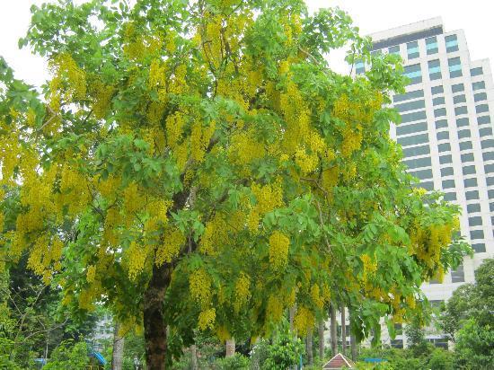 Tree yellow flowers uk 21 free wallpaper hdflowerwallpaper tree yellow flowers uk free wallpaper mightylinksfo