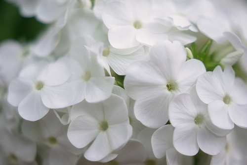 White flowers tumblr 3 cool hd wallpaper hdflowerwallpaper white flowers tumblr background mightylinksfo
