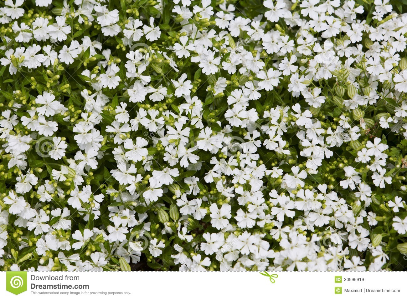 White Yard Flowers 16 Wide Wallpaper Hdflowerwallpaper
